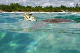 Também na Riviera Maia, Akumal é o destino dos apaixonados por mergulho e snorkeling. A região, que fica a cerca de 100 quilômetros de Cancún, é lar de várias espécies de tartaruga. Também dá para ver diversos tipos de peixes, principalmente na Lagoa Yal-Ku, local onde a água doce se encontra com a salgada do mar