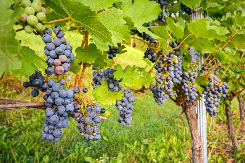 Vinícolas do Chile podem ser visitadas durante o período |Divulgação