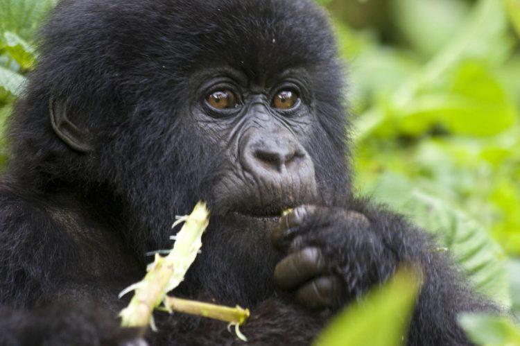 Gorila em Rwanda