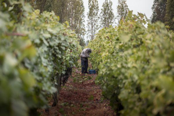 Colheita da uva no Chile | Divulgação