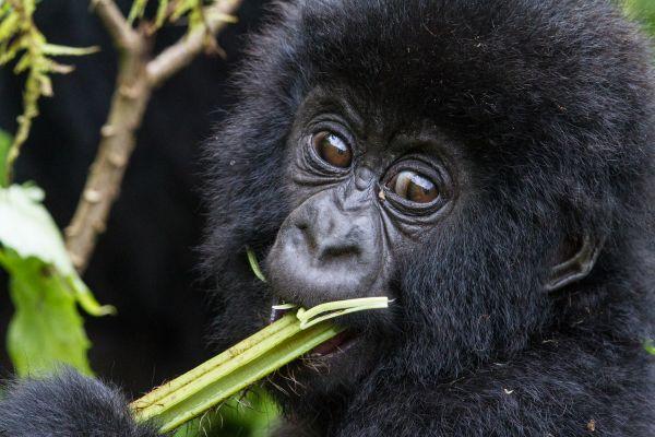 Visitar famílias gorilas é opção para turistas que viajam para a região | Divulgação