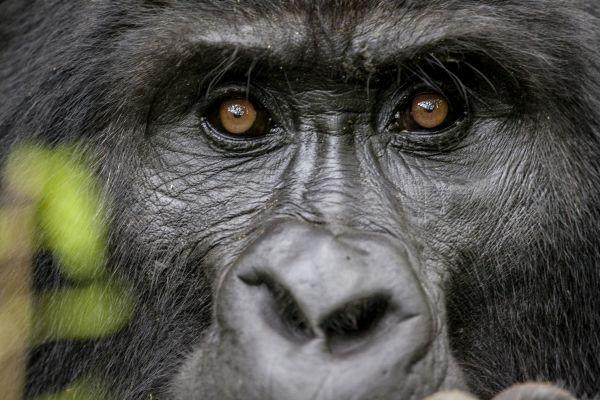 Gorila no Parque Nacional dos Vulcões, em Ruanda | Divulgação
