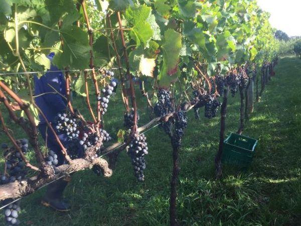 Produção e degustação de vinho atrai viajantes | Divulgação