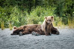 Ursos no Alasca